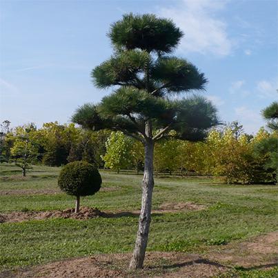 kiefern baumschule ammann kiefern bonsai verkauf gartenbonsai kaufen stei lingen pflanzenauswahl. Black Bedroom Furniture Sets. Home Design Ideas