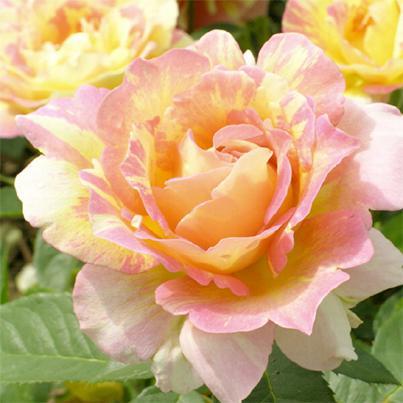 rosen baumschule ammann elegante gartengestaltung rosenstrauch kaufen rosenbeet anlegen. Black Bedroom Furniture Sets. Home Design Ideas